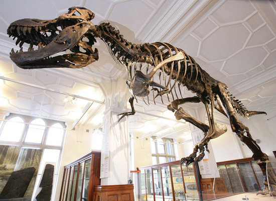 T- Rex in Manchester Museum